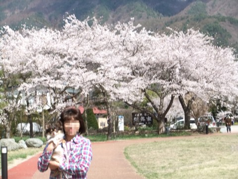 11河口湖桜⑤.jpg