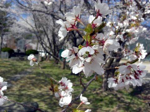 11河口湖桜⑧.jpg