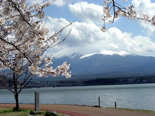 11河口湖桜♪.jpg