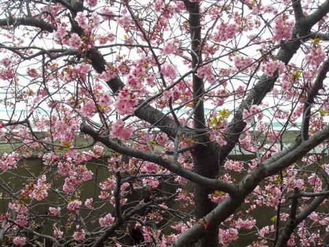 12河津桜①.jpg