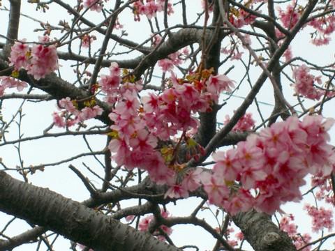 12河津桜⑨.jpg