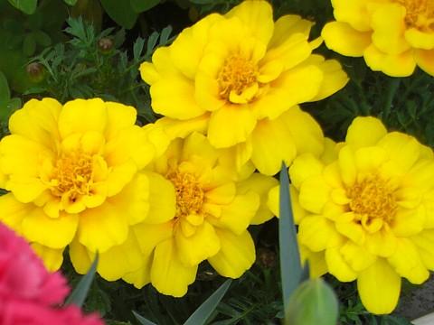 お花が咲いたでち⑲.jpg