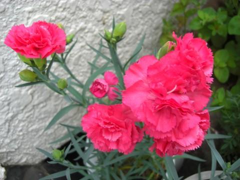 お花が咲いたでち⑮.jpg