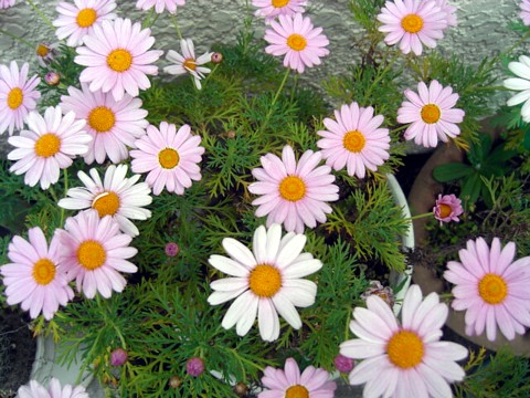お花が咲いたでち⑰.jpg