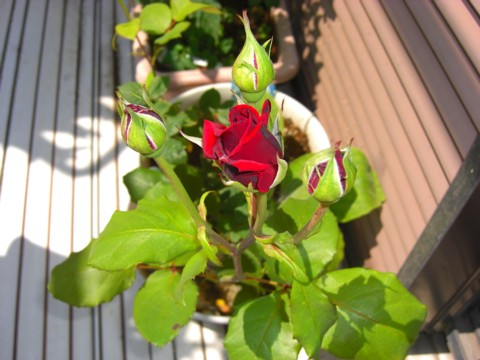 バラが咲いた③.jpg