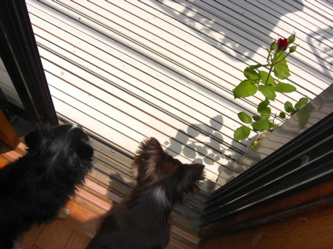 バラが咲いた④.jpg