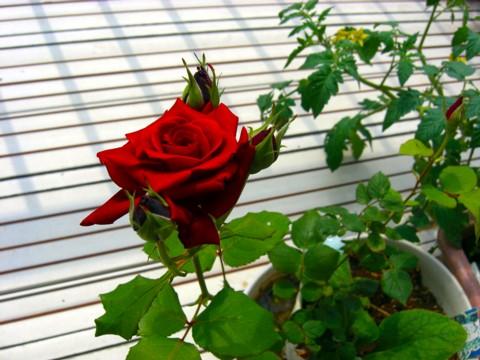 バラが咲いた⑤.jpg