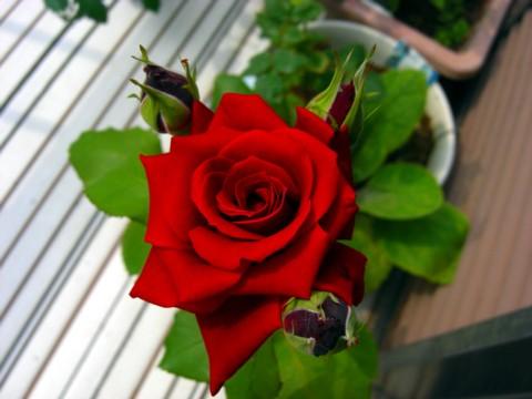 バラが咲いた⑦.jpg