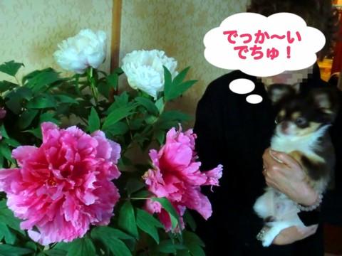 大輪の花④.jpg