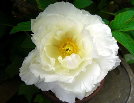大輪の花⑤.jpg