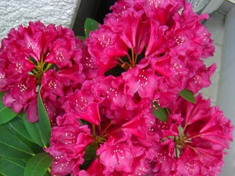 大輪の花⑥.jpg